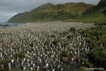 Lusitania Bay King Penguin colony. Photo: Noel Carmichael